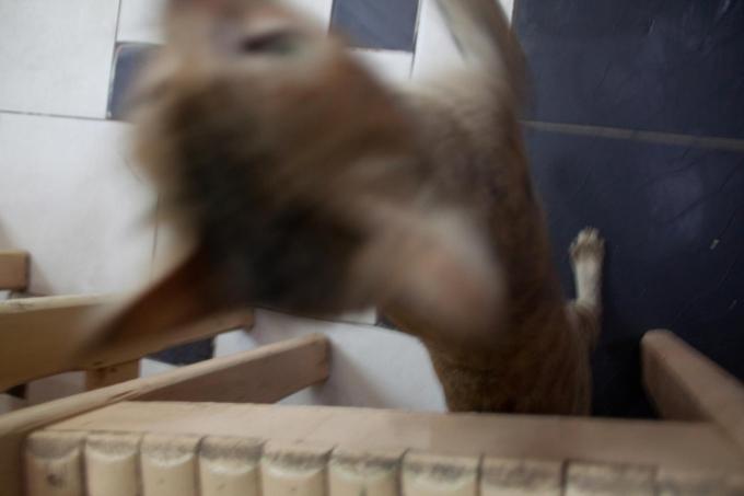 猫 ダハブ